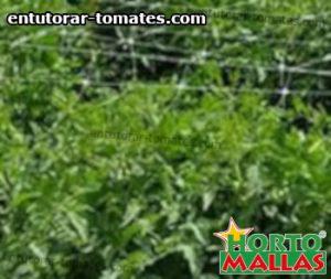 red de soporte instalada en cultivo de tomates