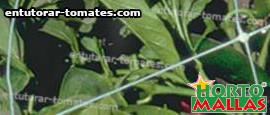 red de tutoreo en cultivo de pimiento