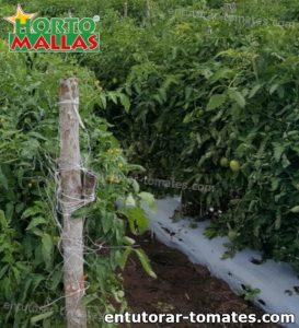 campo de cultivo de tomate utilizando red de soporte