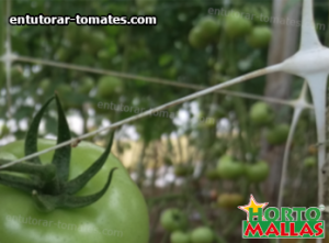 tomate entutorado con malla espladera