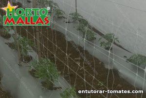 Campo de tomate y malla espaldera