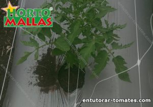 Entutorado de tomates