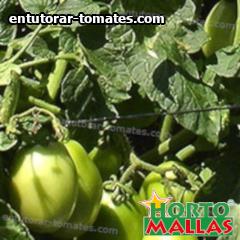 cultivo de tomate usando sistema de soporte y tutoreo