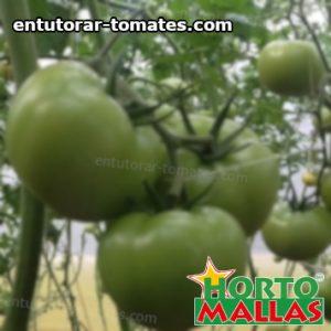 frutos de la planta de tomate en campo