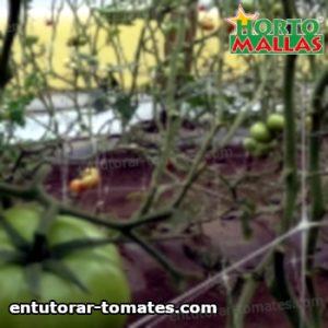 plantaciones de tomate usando malla espaldera