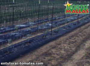campo de cultivos de tomate usando la malla tutora