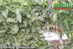 malla espaldera sobre cultivo de tomate