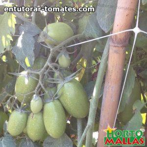 frutos del cultivo de tomate utilizando malla espaldera