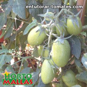 malla tutora brindando soporte a las plantas de tomate