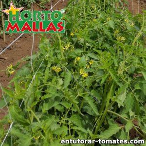 Malla tomatera instalada en campos de hortalizas